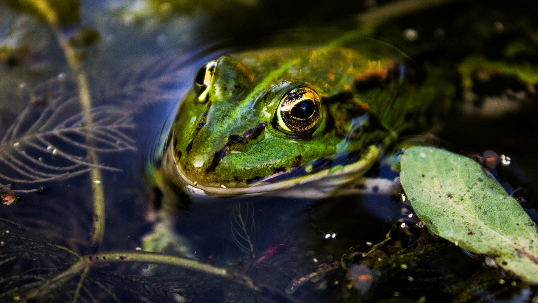 green toad in water